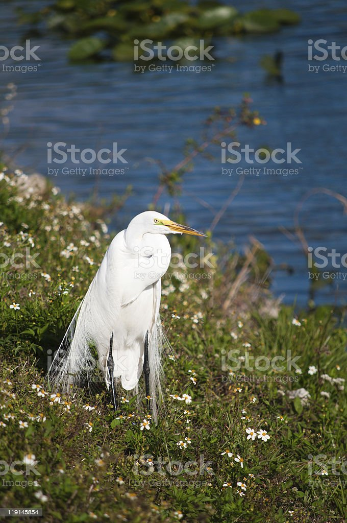 Great egret at the lakeside stock photo