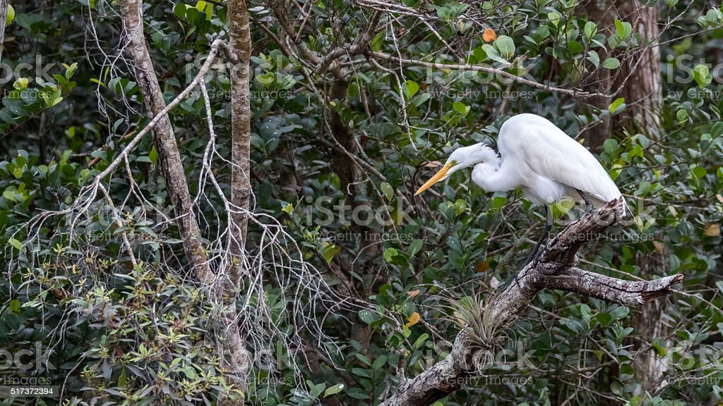 Great Egret, Big Cypress National Preserve, Florida stock photo
