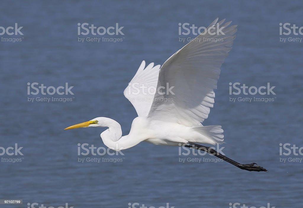 Great Egret bird in flight over ocean water stock photo
