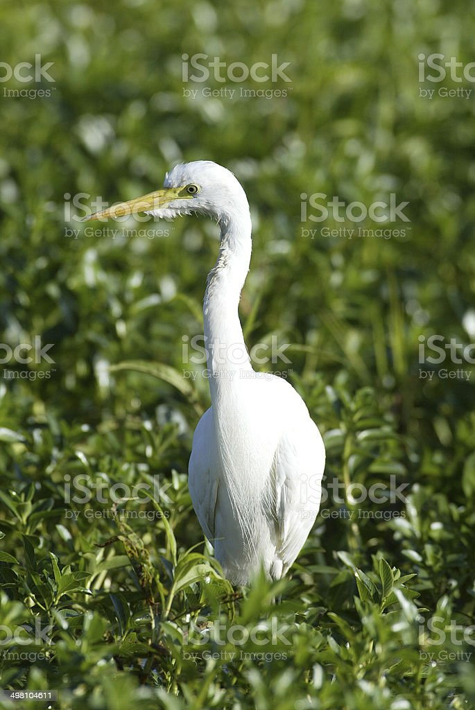 Great Egret Bird, Kakadu, Australia royalty-free stock photo