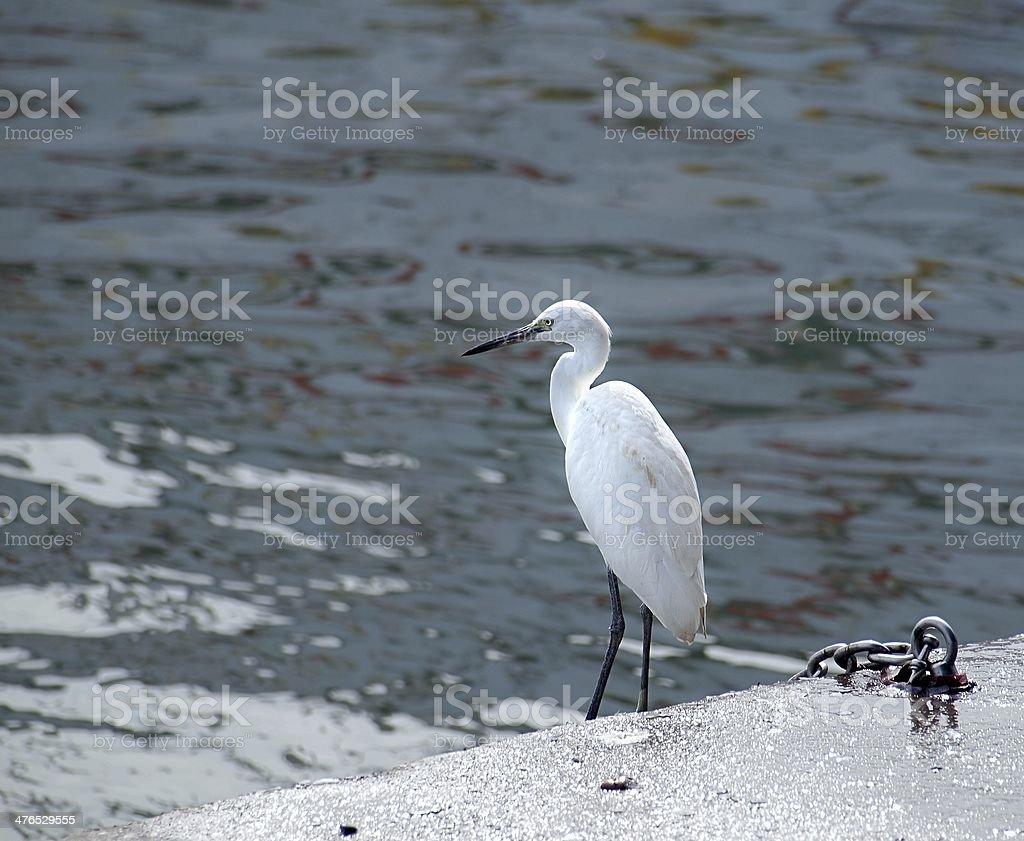 Great Egret Bird stock photo