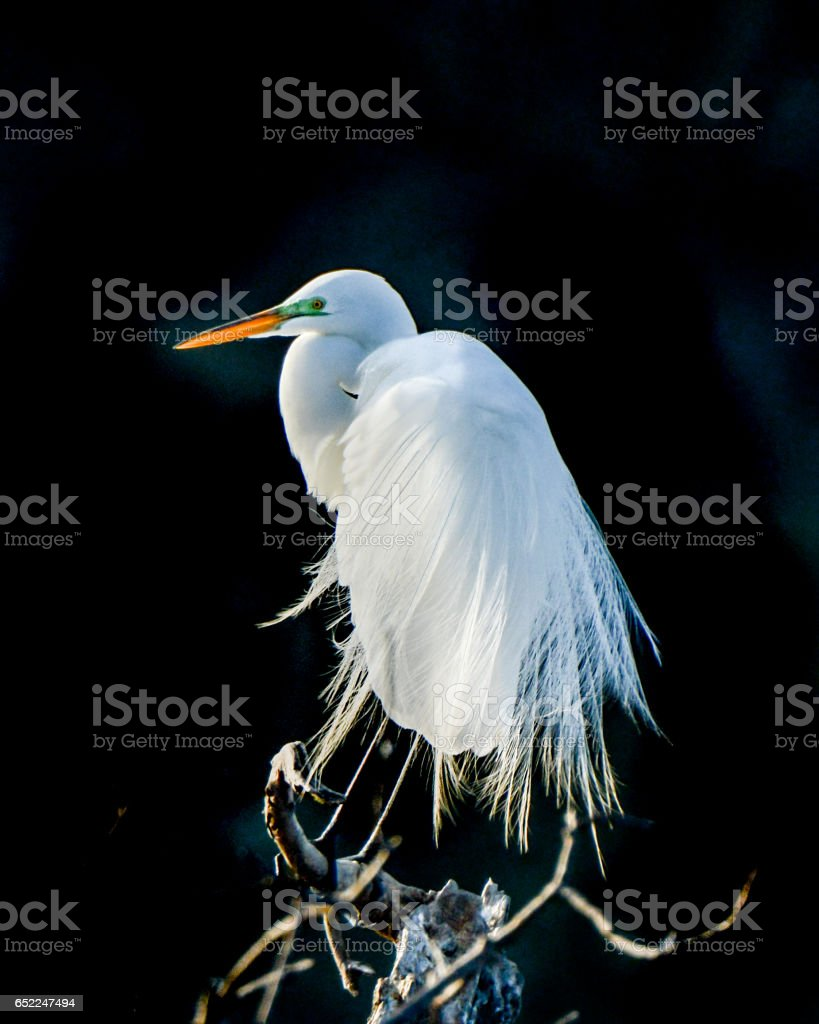 Great Egret Breeding Plumage And Colors stock photo