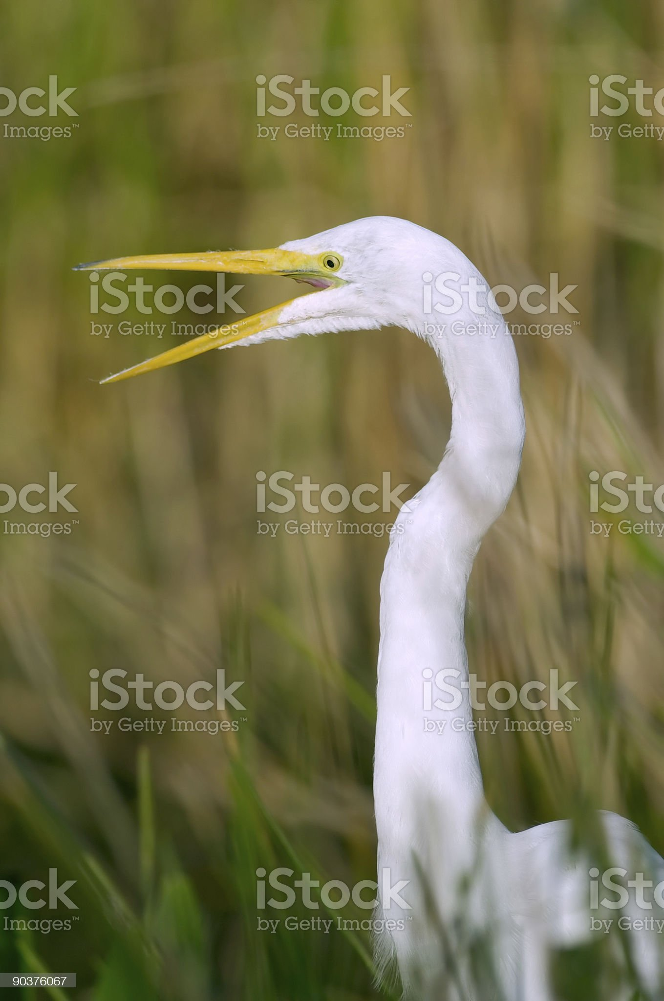 Great egret calling royalty-free stock photo