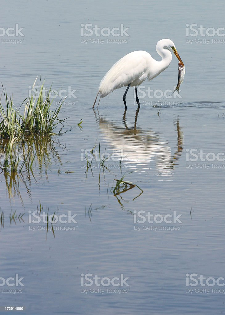 Great Egret Catching a Fish royalty-free stock photo