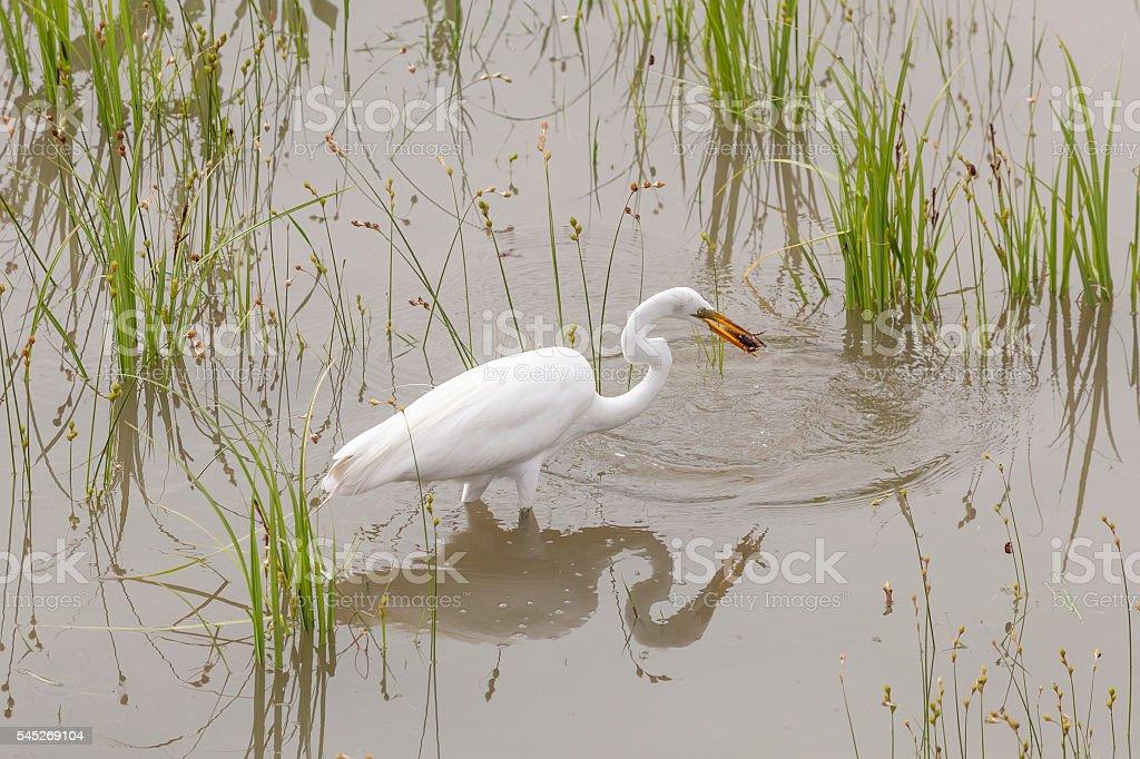 Great Egret Catching crawfish stock photo