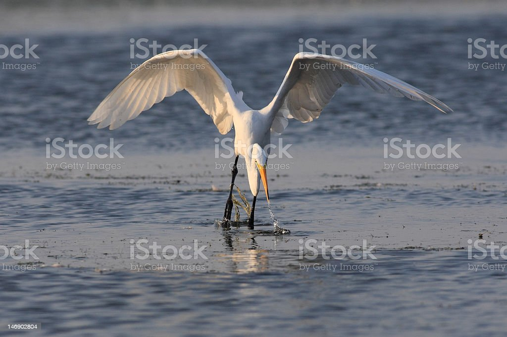 great egret catching fish at Jamaica Bay stock photo