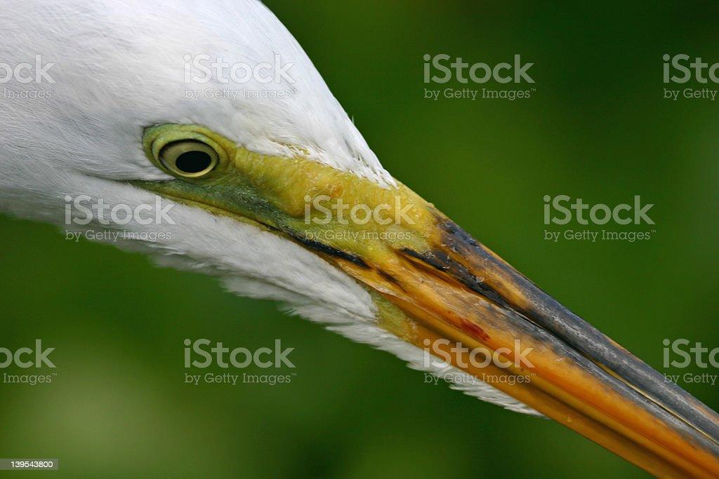 Great egret closeup royalty-free stock photo