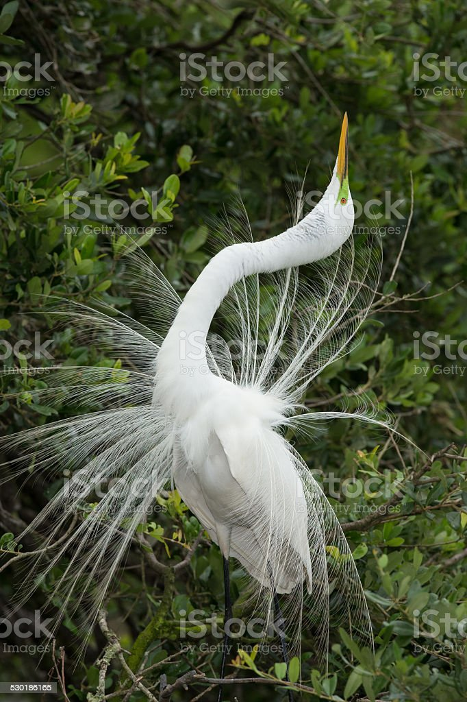 Great Egret dispalying stock photo