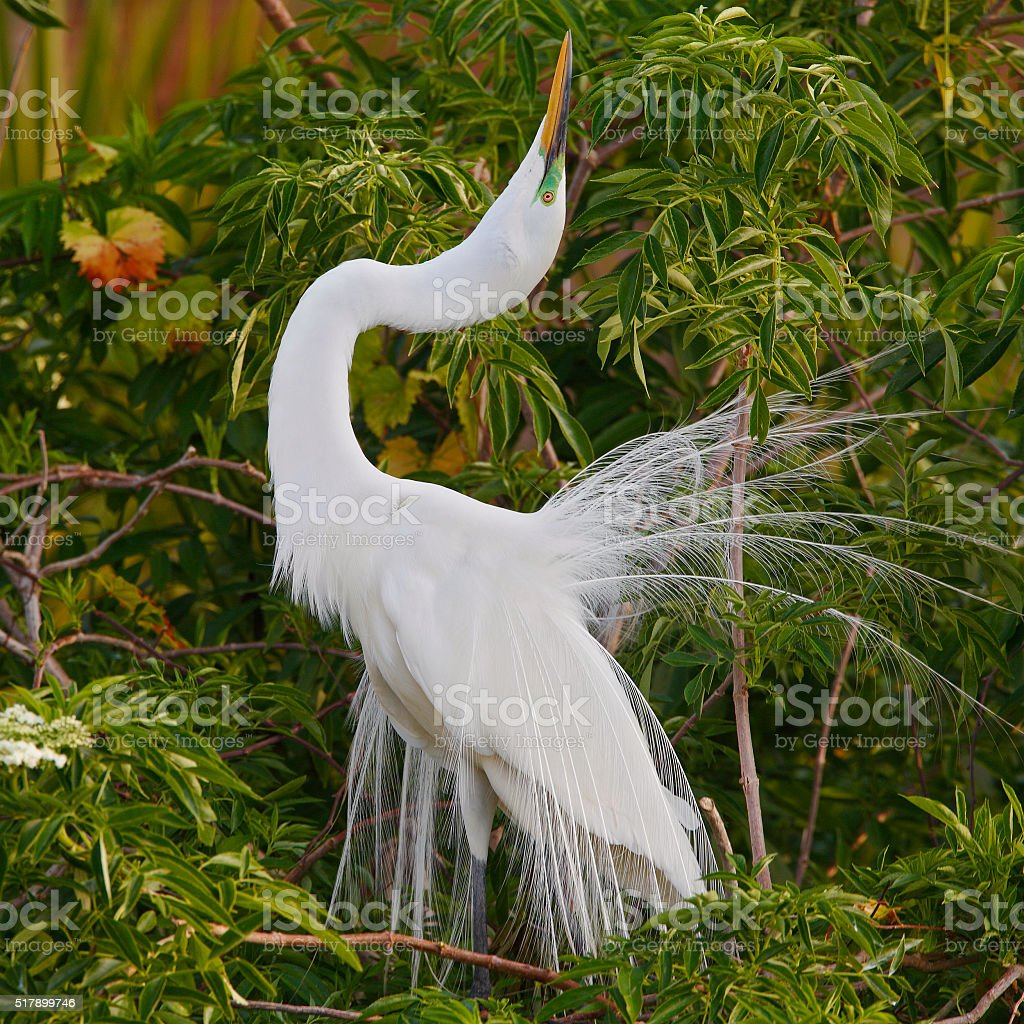 Great Egret Displaying in Breeding Season - Florida stock photo