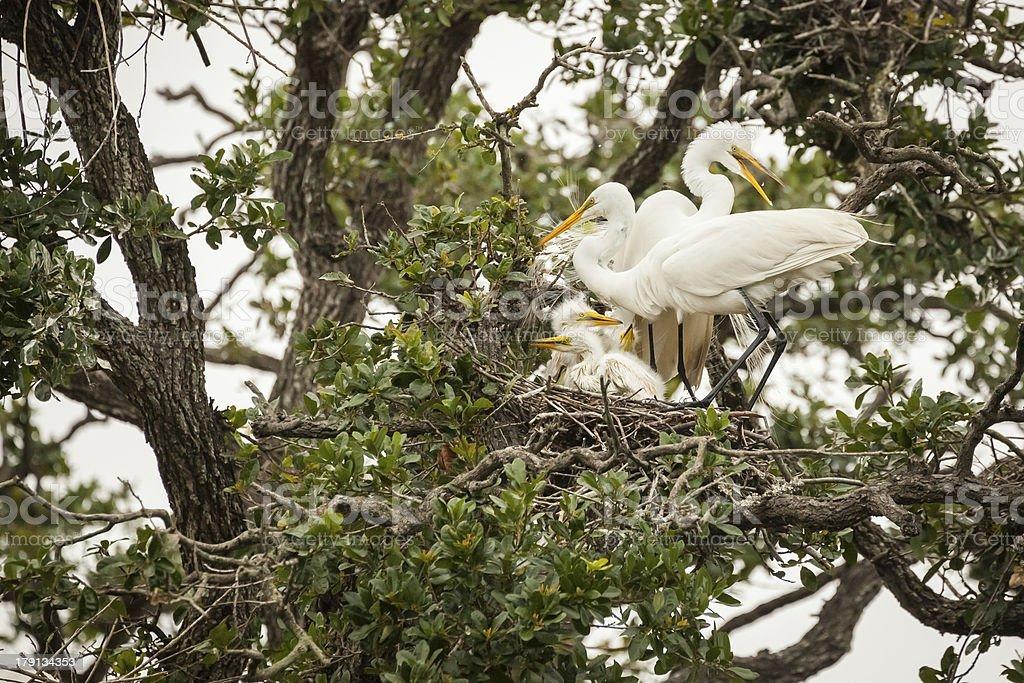 Great Egret Family stock photo