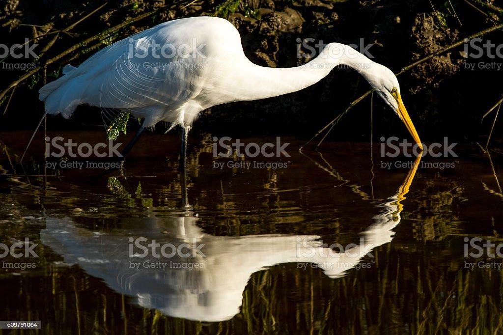 Great Egret Fishing stock photo