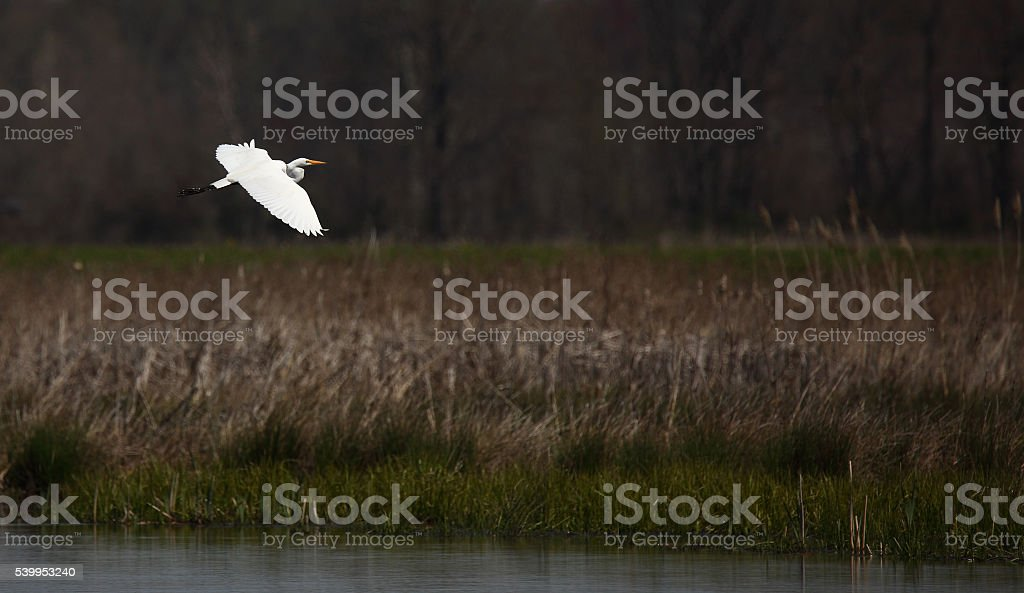 Great egret flying over a pond stock photo