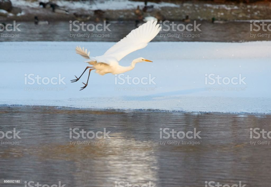 Great Egret flying over frozen lake stock photo