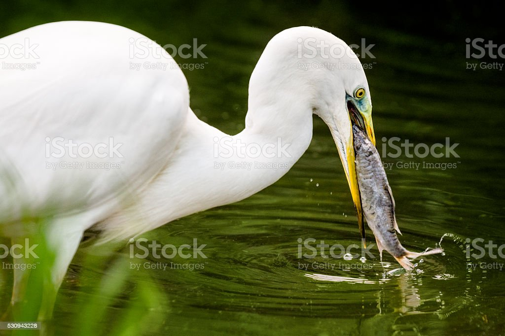 Great egret has just caught fish stock photo