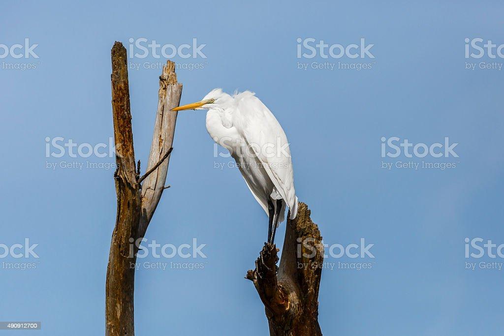 Great Egret (Ardea alba) Hunkered Down On Dead Tree stock photo