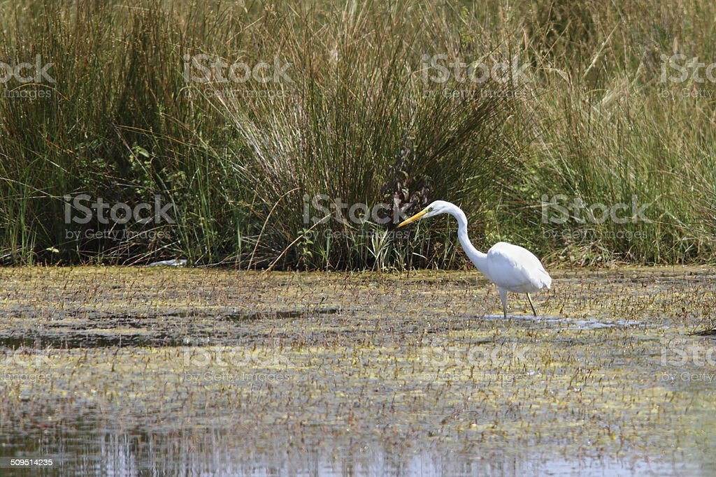 great egret hunting on swamp stock photo