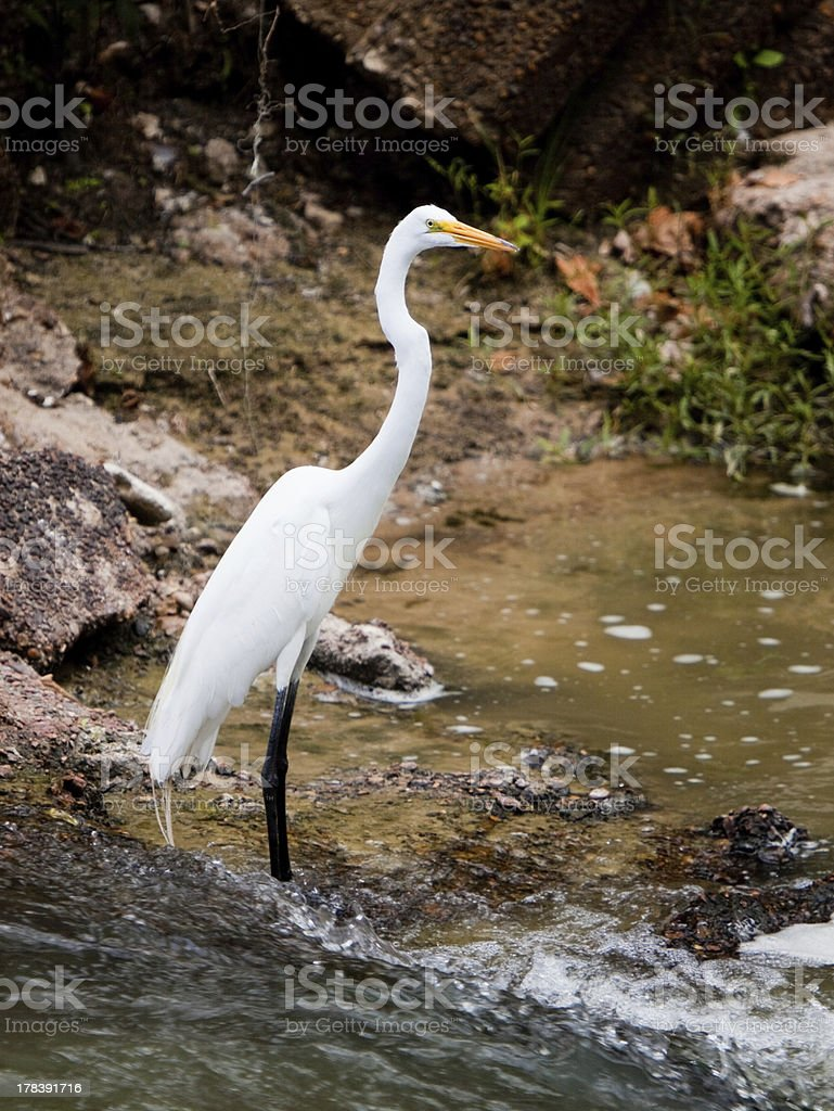 Great Egret in Bayou stock photo