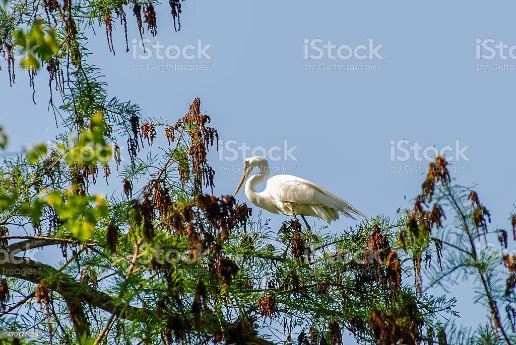 Great Egret (Ardea alba) in Cypress Tree stock photo