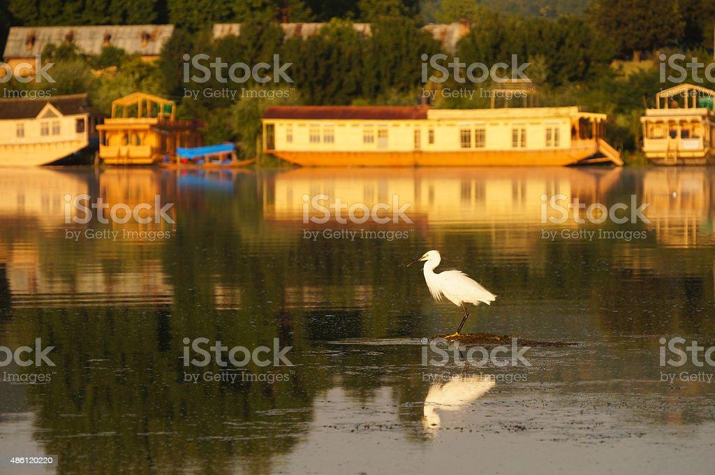 Great egret in Dal Lake, Srinagar, Kashmir, India stock photo