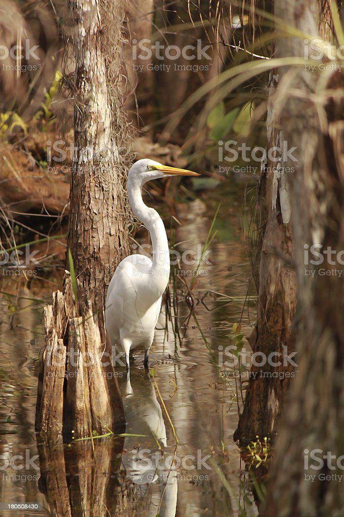 Great Egret (Ardea alba) in Everglades National Park royalty-free stock photo
