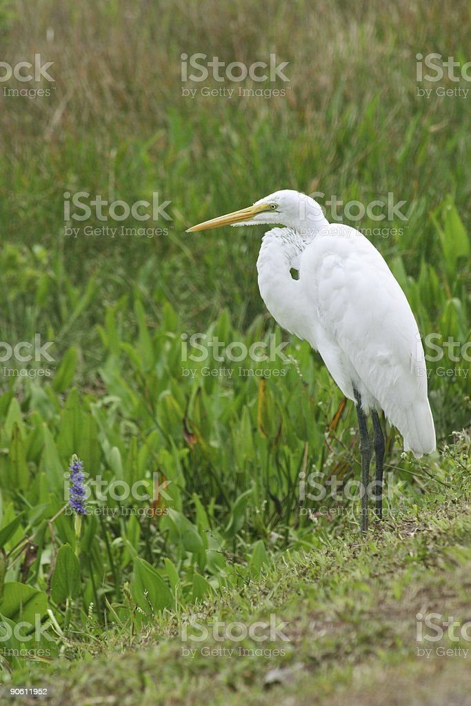 Great Egret in Everglades royalty-free stock photo