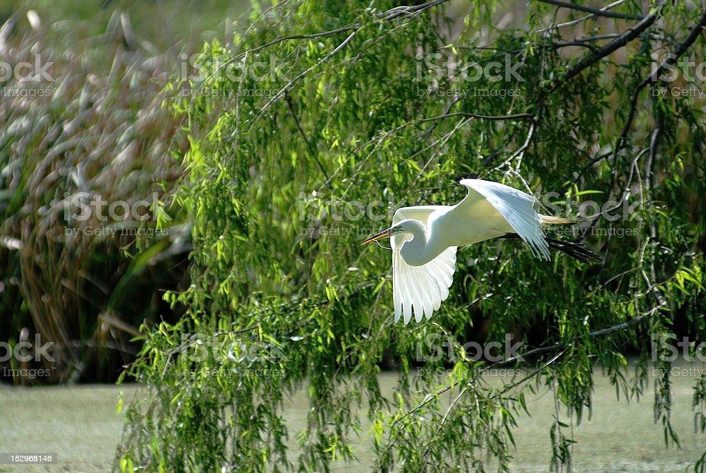 Great Egret in Flight Closeup stock photo