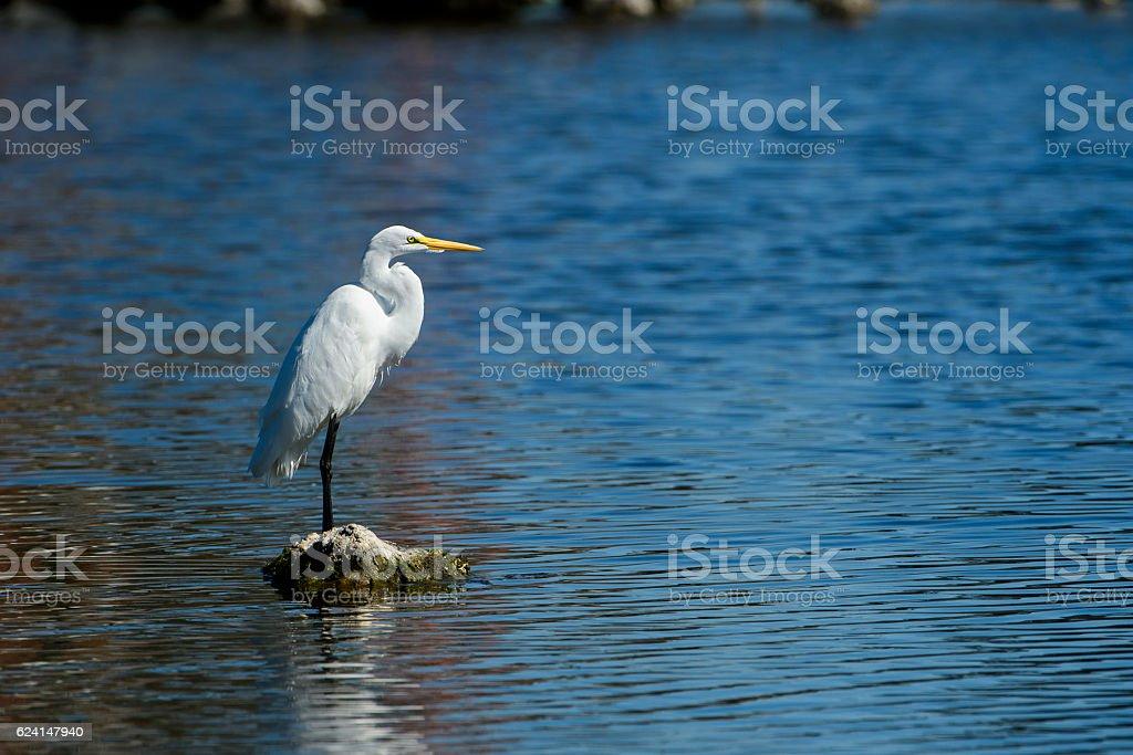 Great Egret in Flight Over Coastal Lake stock photo