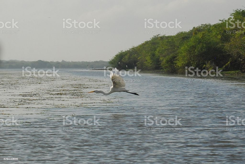 Great Egret in Flight Over the Water at Crooked Tree royalty-free stock photo