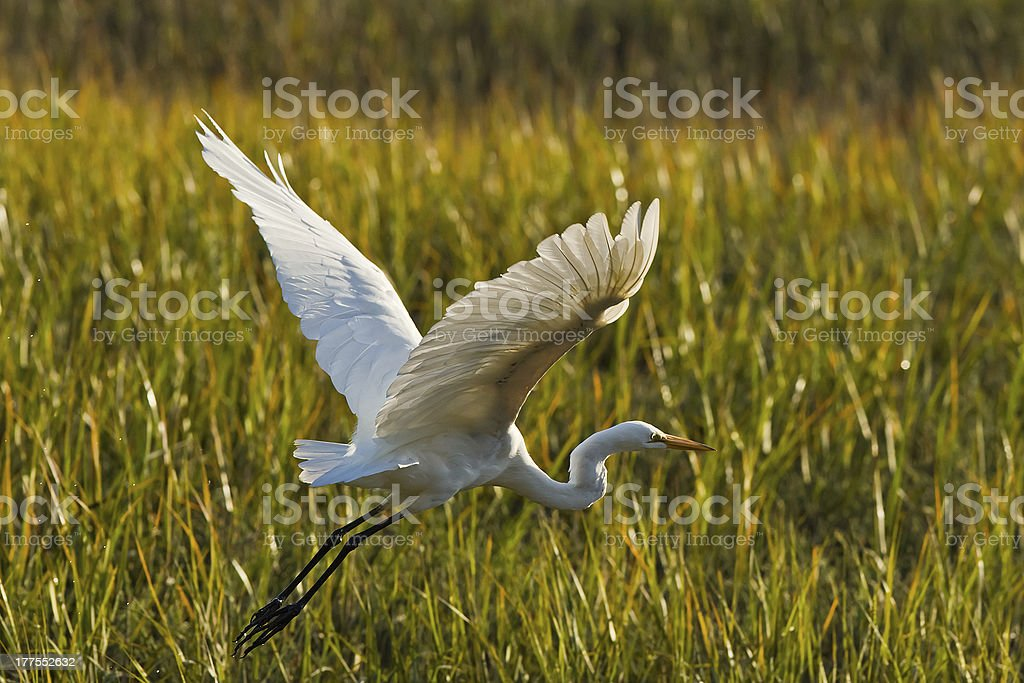 Great Egret in flight. royalty-free stock photo