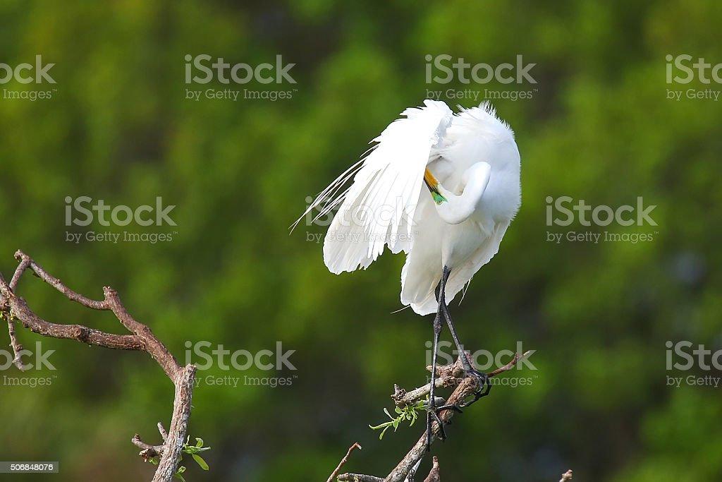 Great Egret (Ardea alba) in flight stock photo