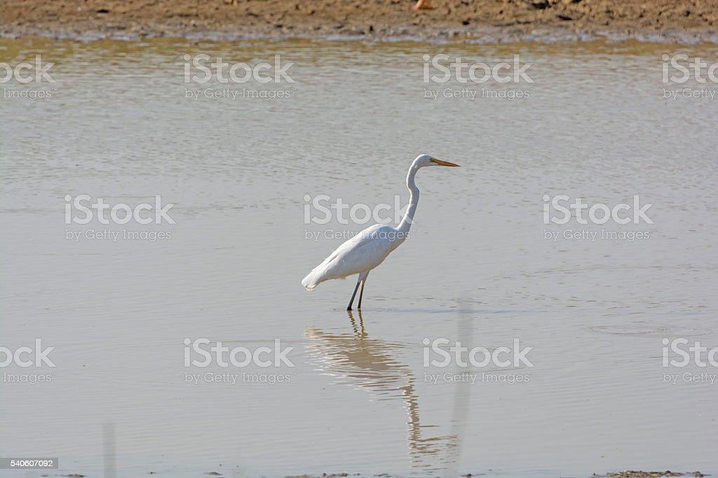 Great Egret in Remote Waterhole stock photo