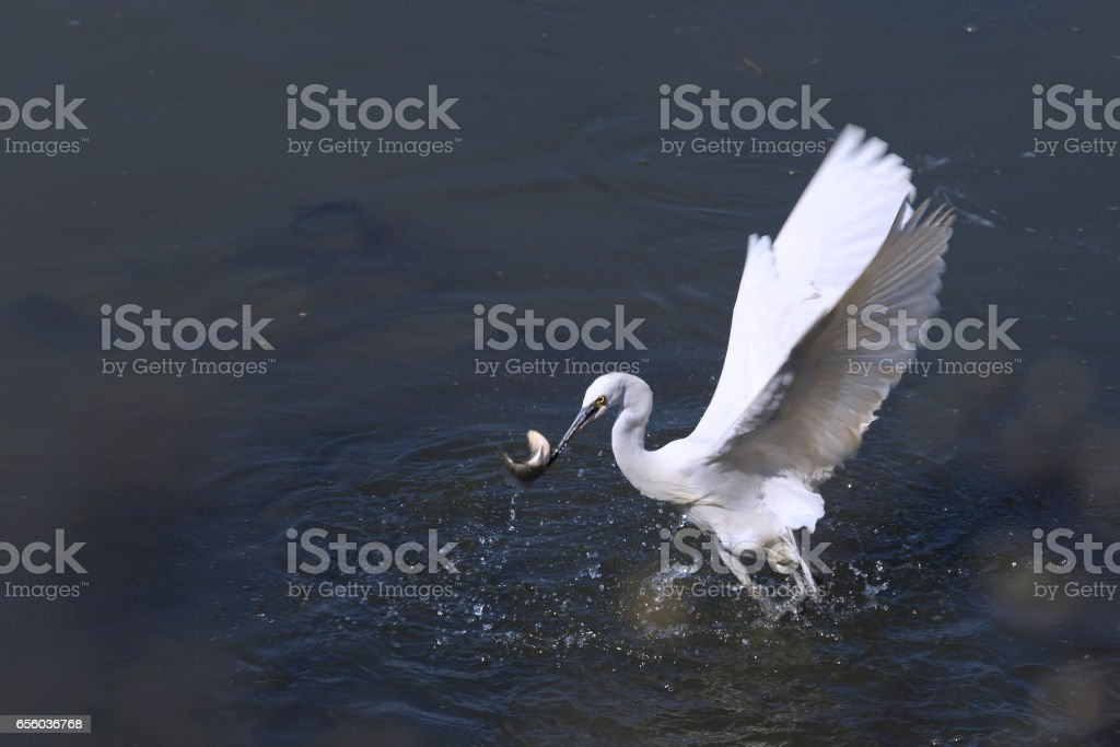 Great egret is catching fish stock photo