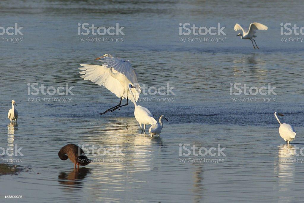 Great Egret Landing royalty-free stock photo