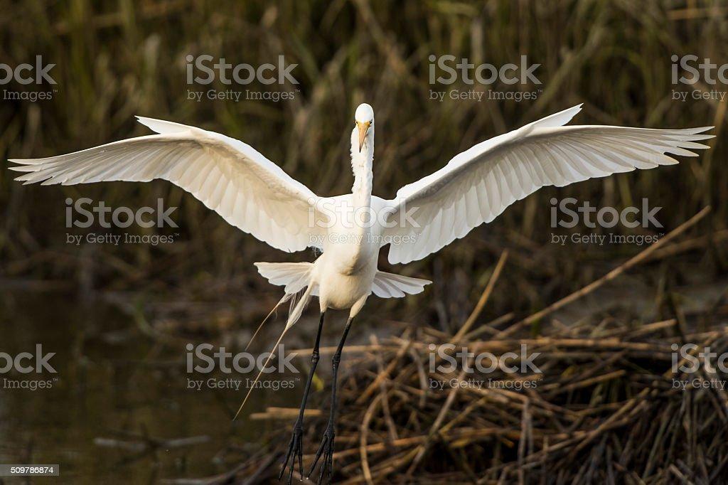 Great Egret Landing stock photo