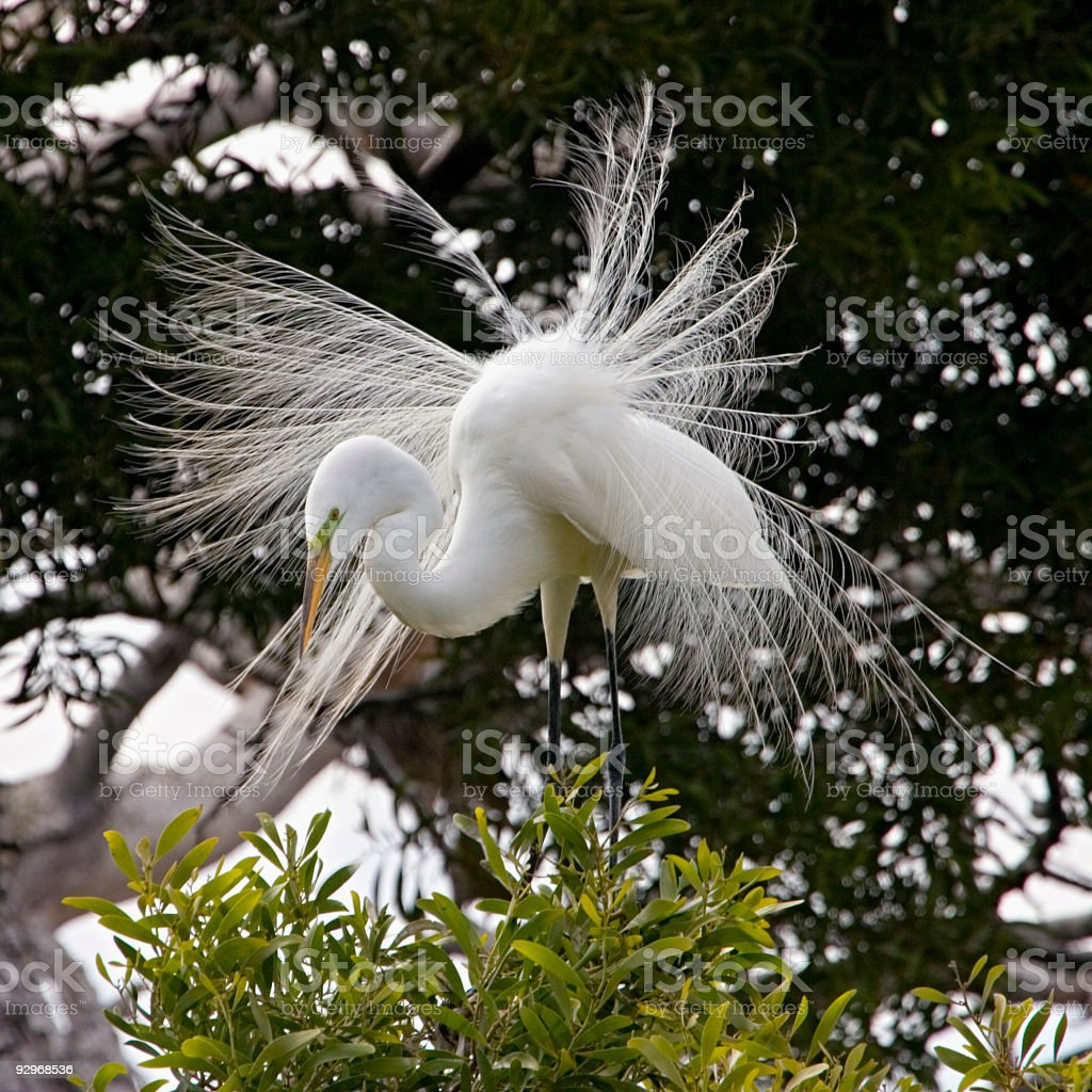Great Egret Male with Courtship Plumage stock photo