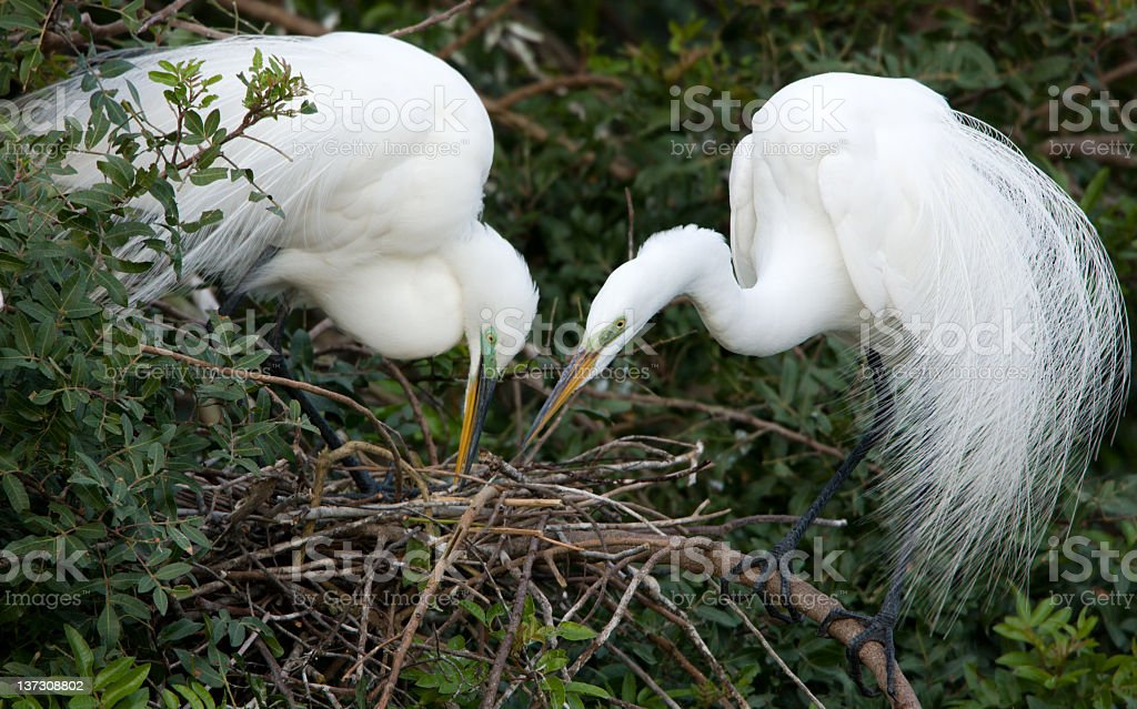 Great Egret - Mated Pair royalty-free stock photo