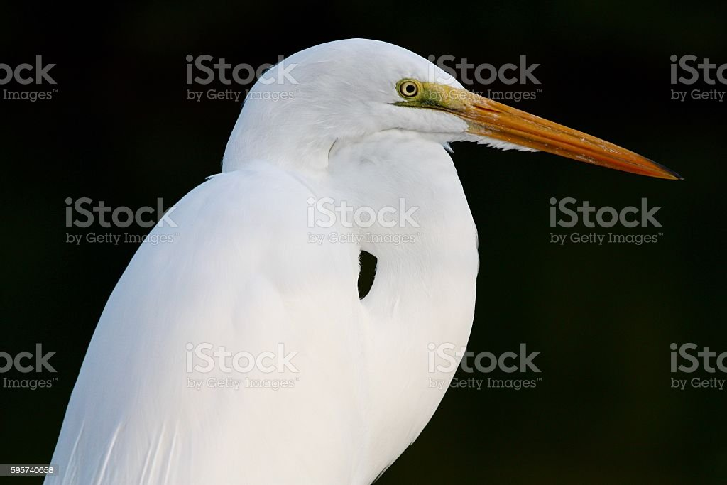 Great Egret on a Black Background stock photo