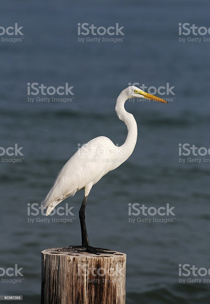 Great egret on Florida coastline royalty-free stock photo