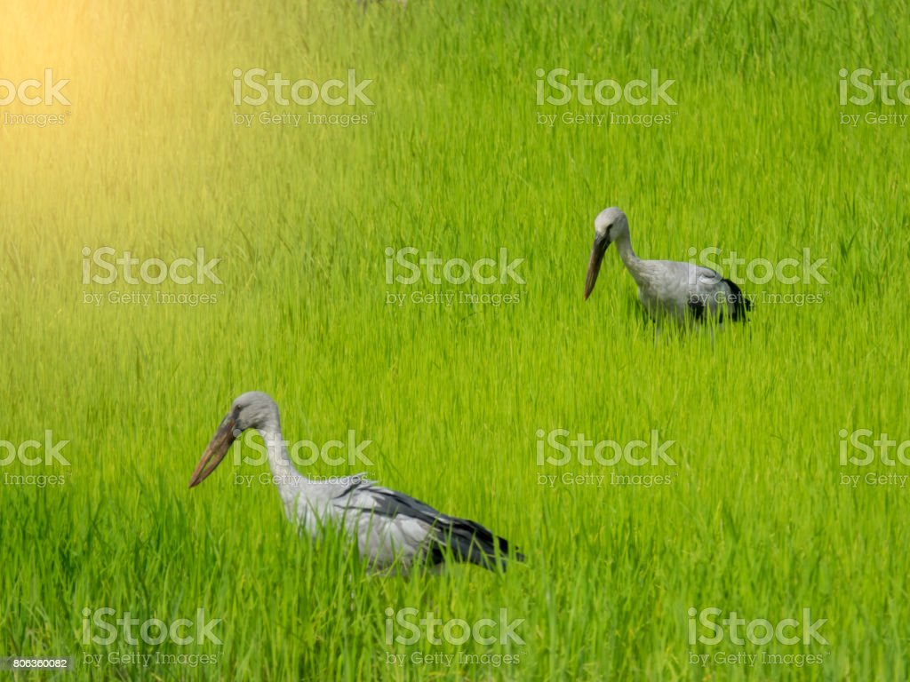Great egret on rice field for finding food stock photo