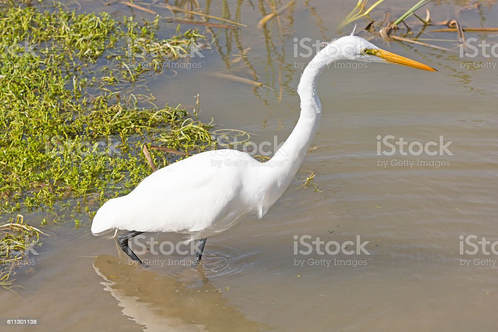 Great Egret on the Hunt stock photo