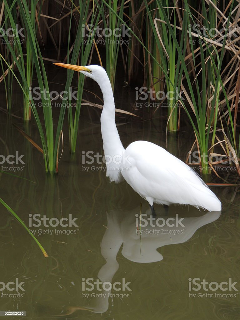 Great Egret or Great White Heron stock photo