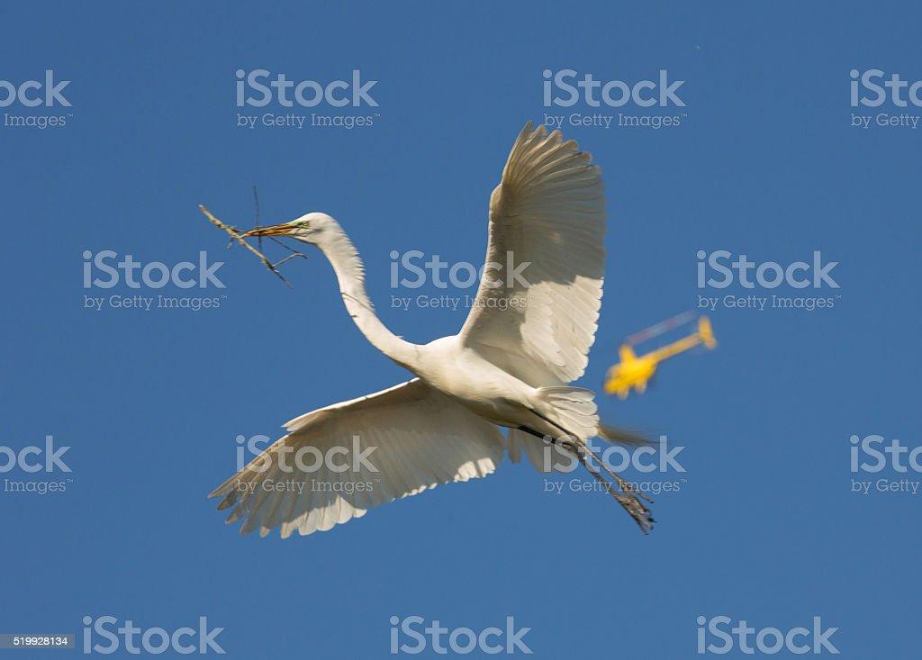 Great Egret photo-bombed stock photo
