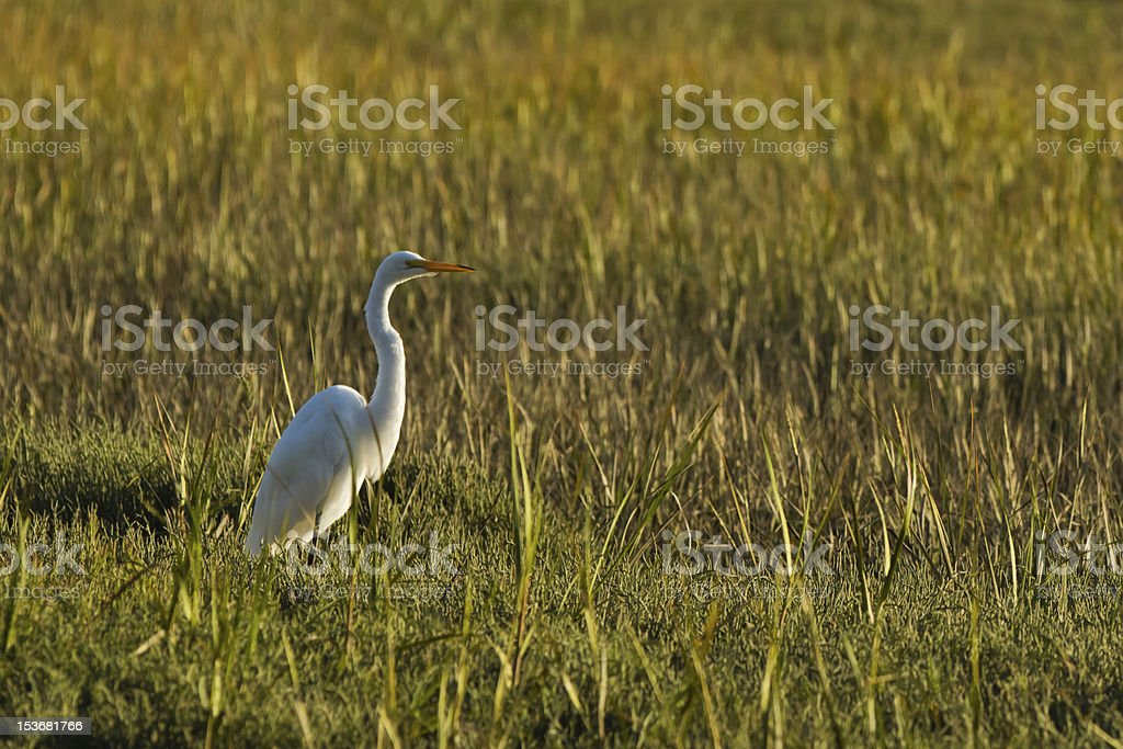Great Egret. royalty-free stock photo