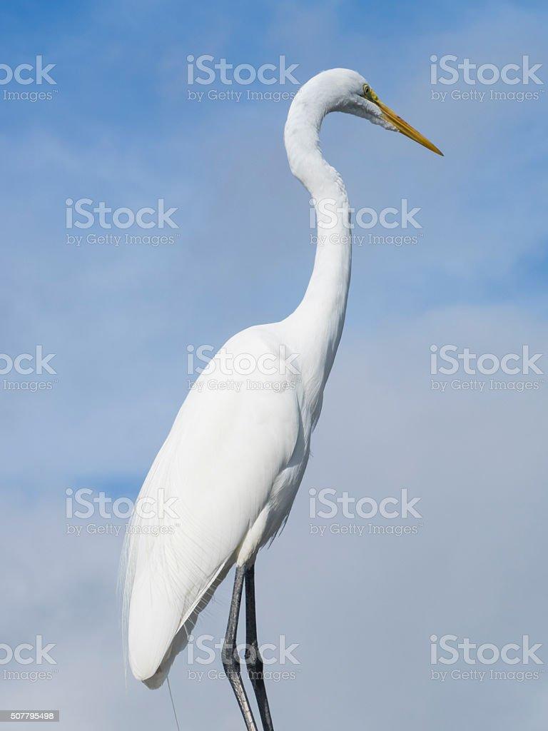 Great Egret stock photo