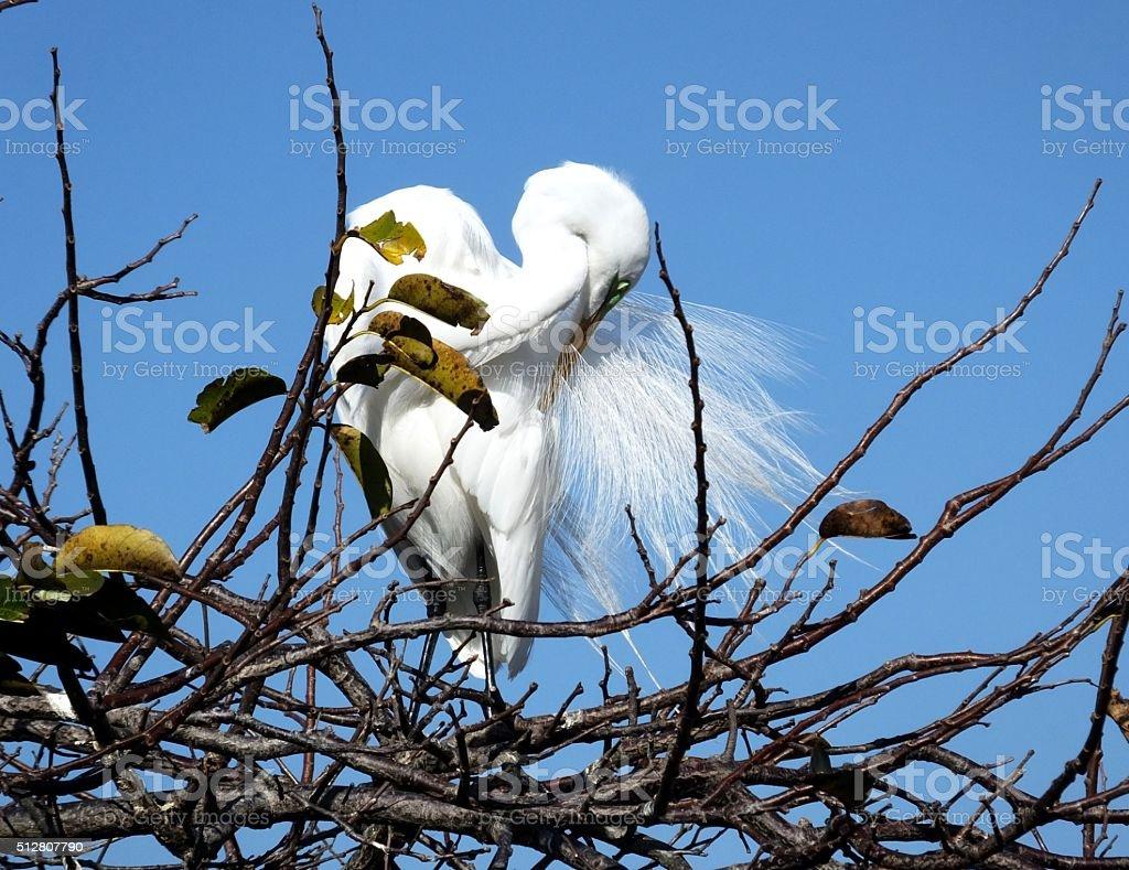 Great Egret (Ardea alba) stock photo