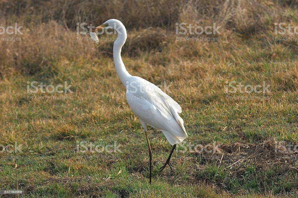 Great Egret (Egretta alba) stock photo