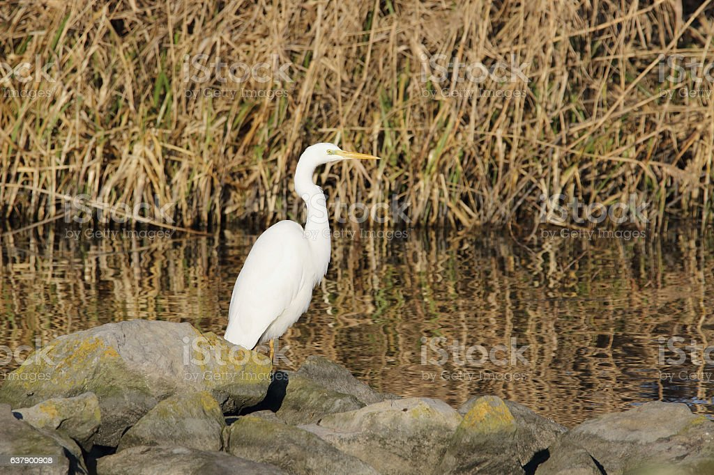 Great Egret (Casmerodius albus) stock photo