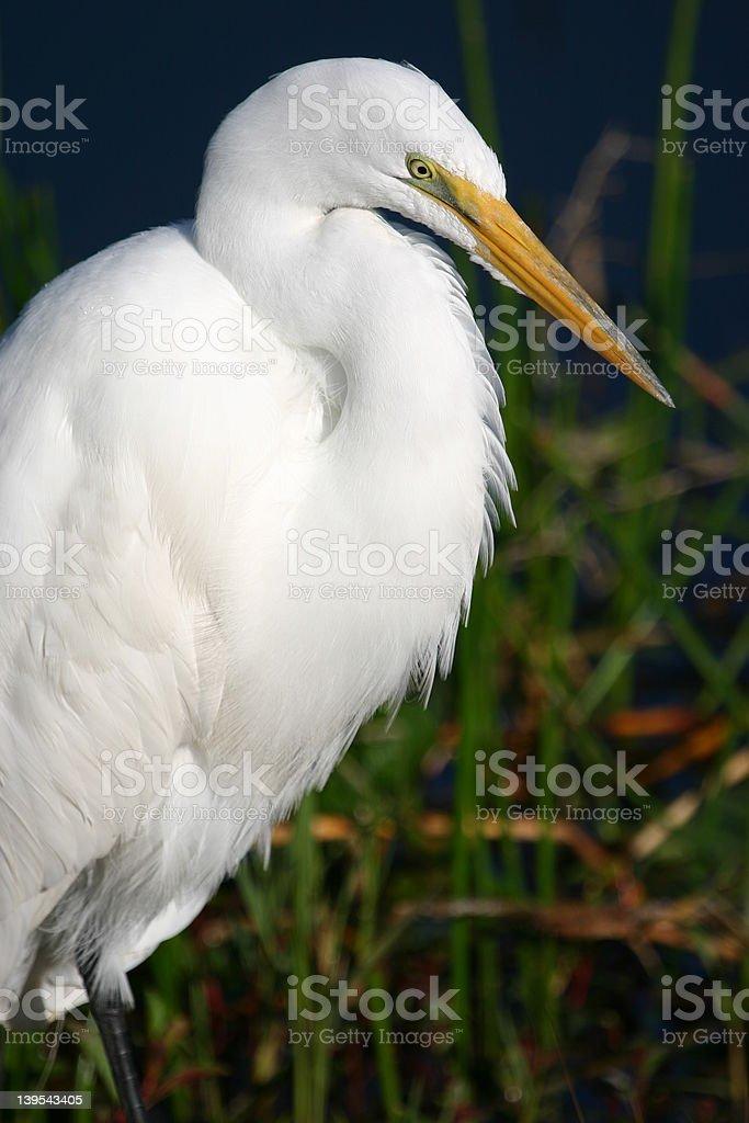 Great egret portrait royalty-free stock photo