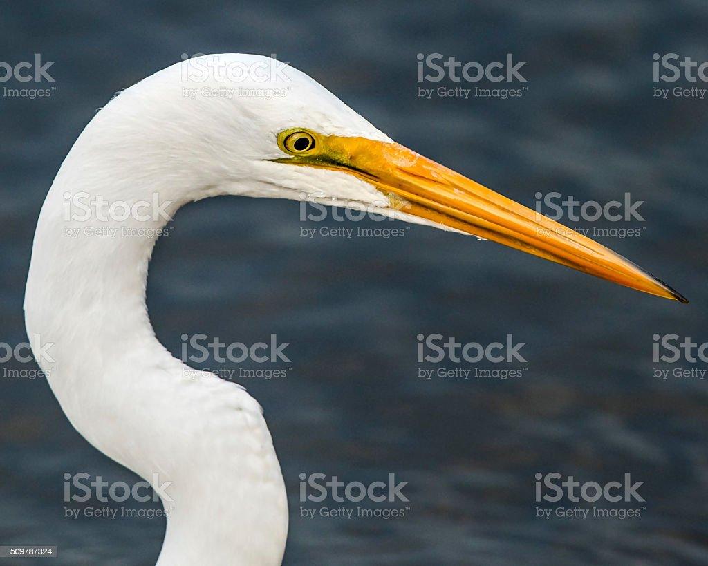 Great Egret Portrait stock photo