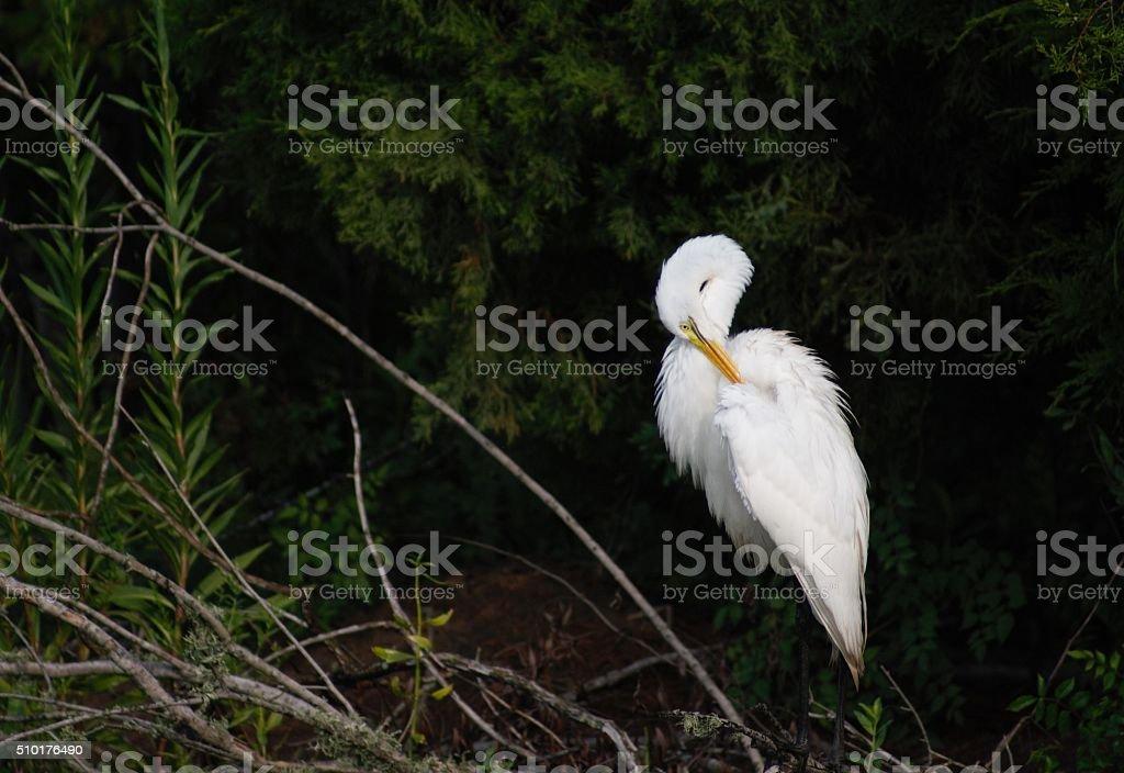 Great Egret Posing stock photo